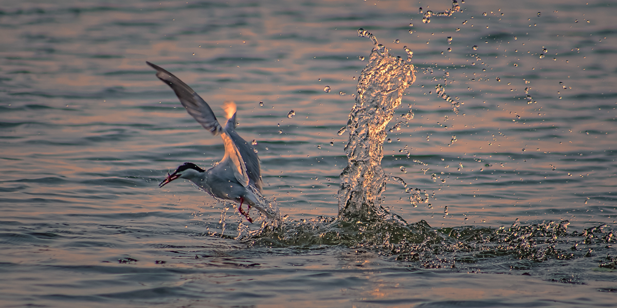 collingwood bird Vertical Dive Watersplash