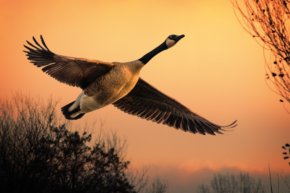 collingwood Canada Goose During Sunset