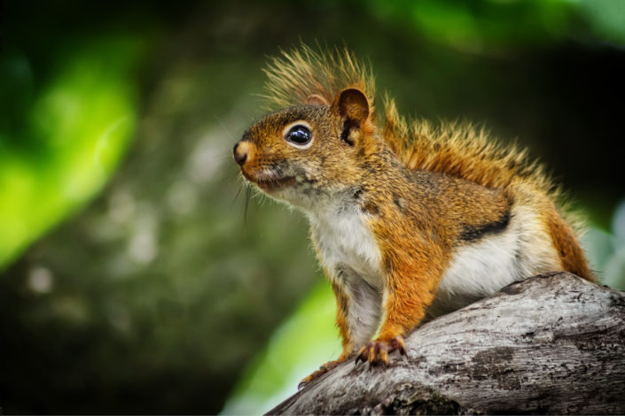 collingwood portrait American red squirrel