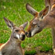 Kangaroo love. Yep, life is good